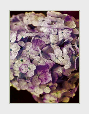 Hydrangea greeting card. Photography by Kathryn Hanson, ShutteredEye.