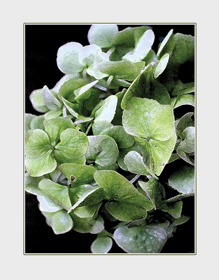 Green Hydrangea greeting card. Photography by Kathryn Hanson, ShutteredEye.